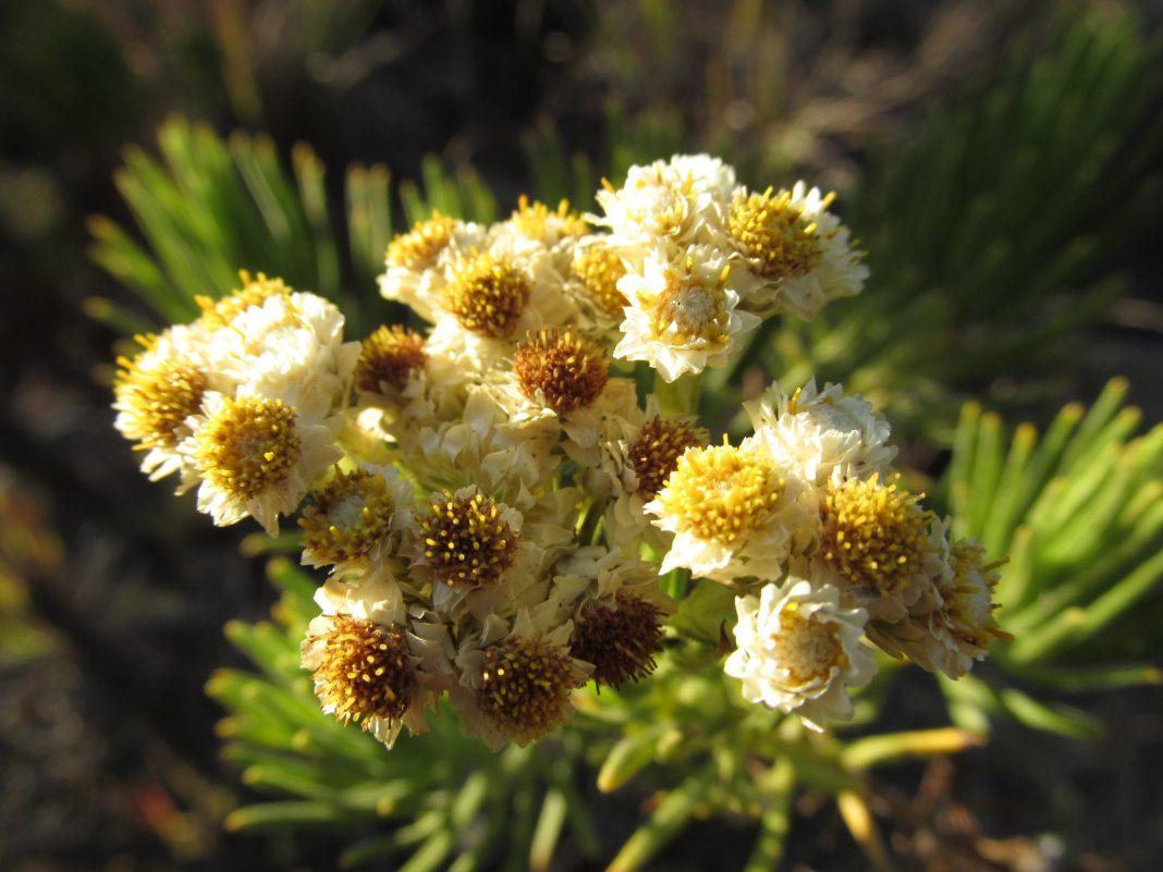 Edelweiss-Flower