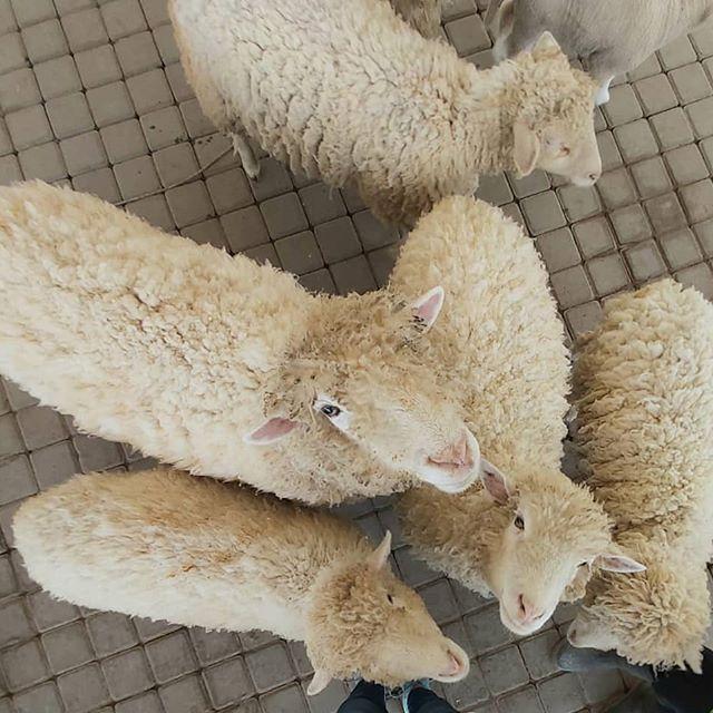Domba-Merino-Australia-Agrowisata-Jogja