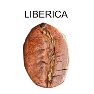 jenis-biji-kopi-liberica