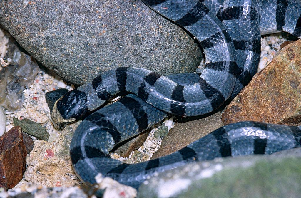 jenis-ular-banded-sea-krait