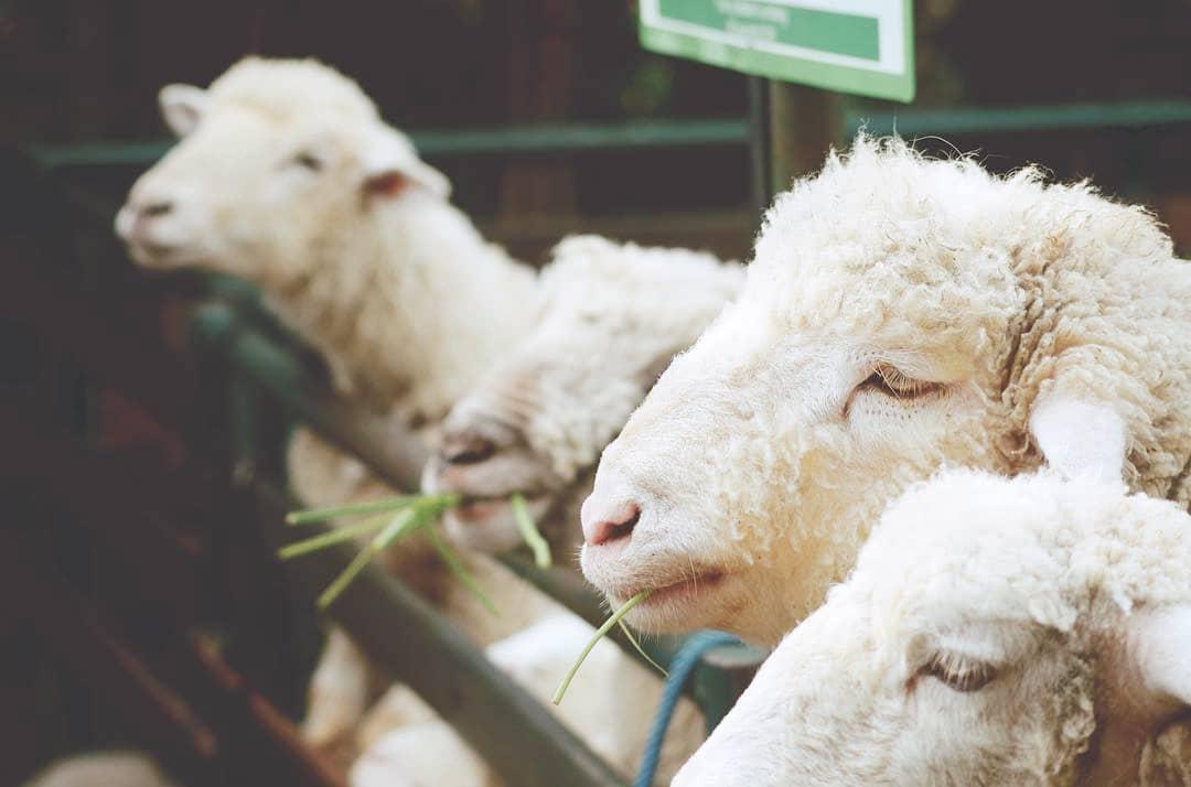 shaun-the-sheep-floating-market-lembang