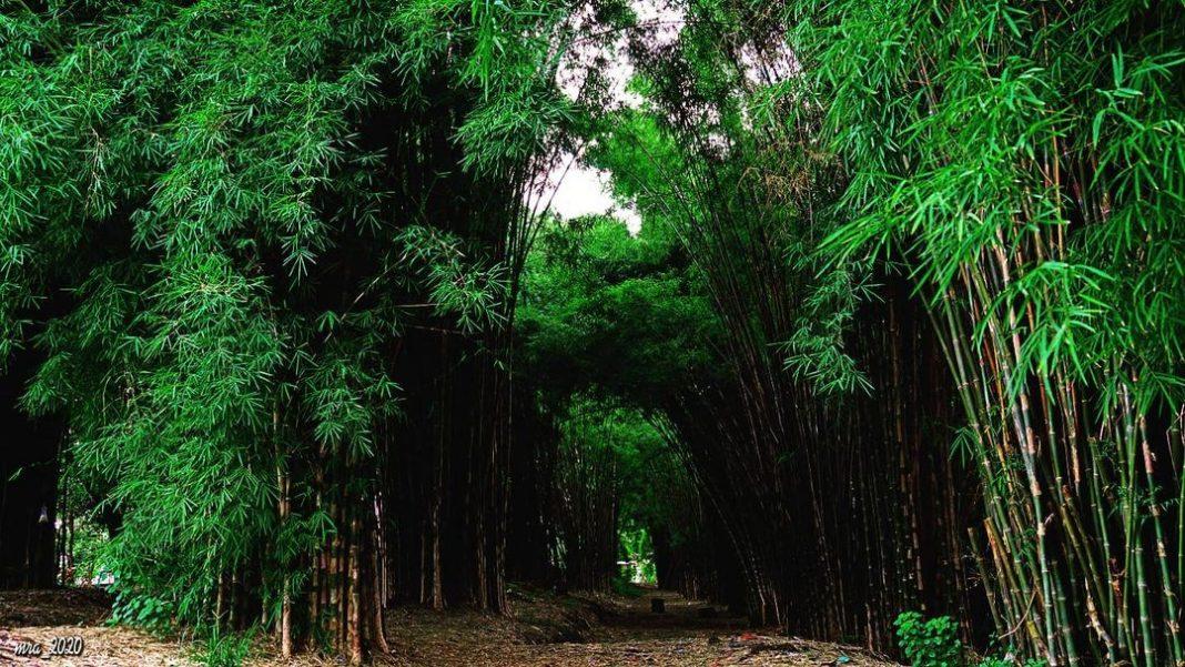 hutan-bambu-surabaya