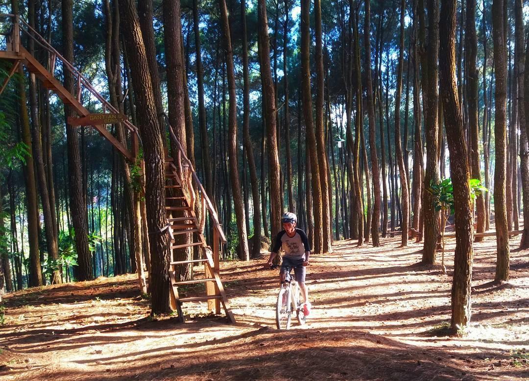 keindahan-hutan-pinus-pengger