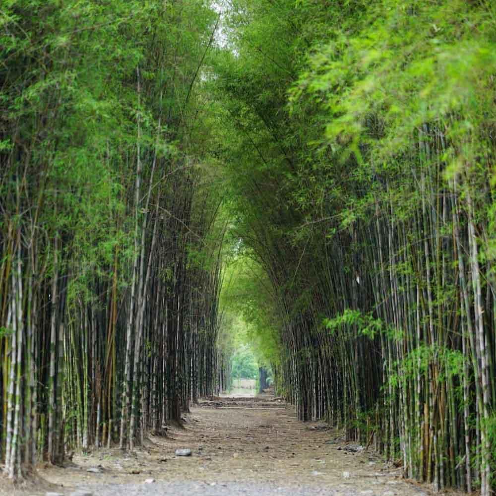 wisata-hutan-bambu-surabaya